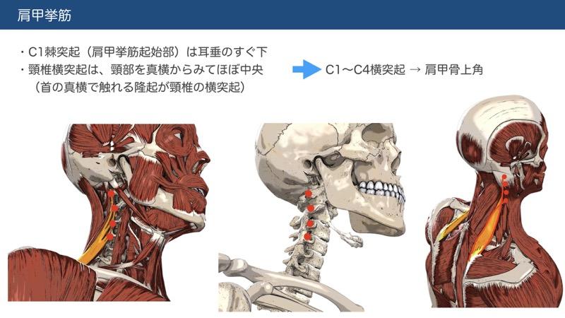 肩甲挙筋の触察法