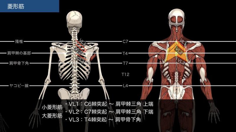 菱形筋の触察法 (小菱形筋・大菱形筋)