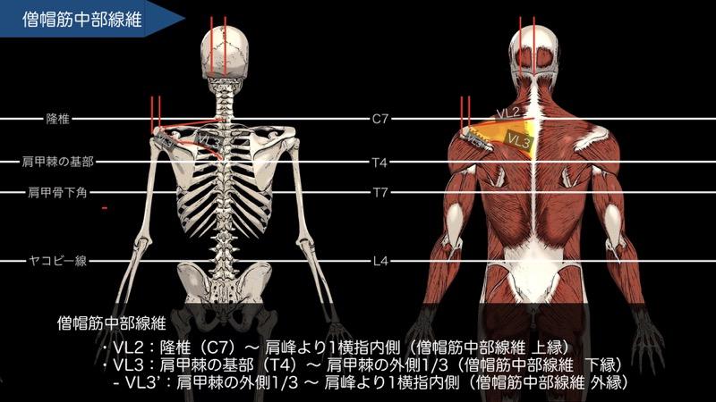 僧帽筋の触察法3 (僧帽筋中部線維)