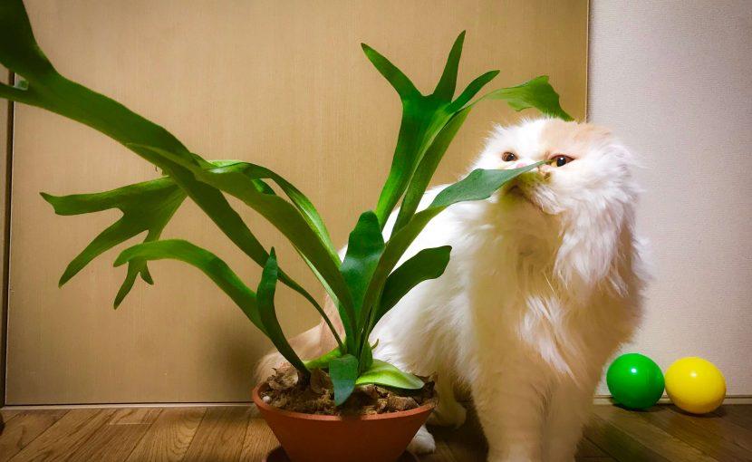 愛猫シャンティとビカクシダさん