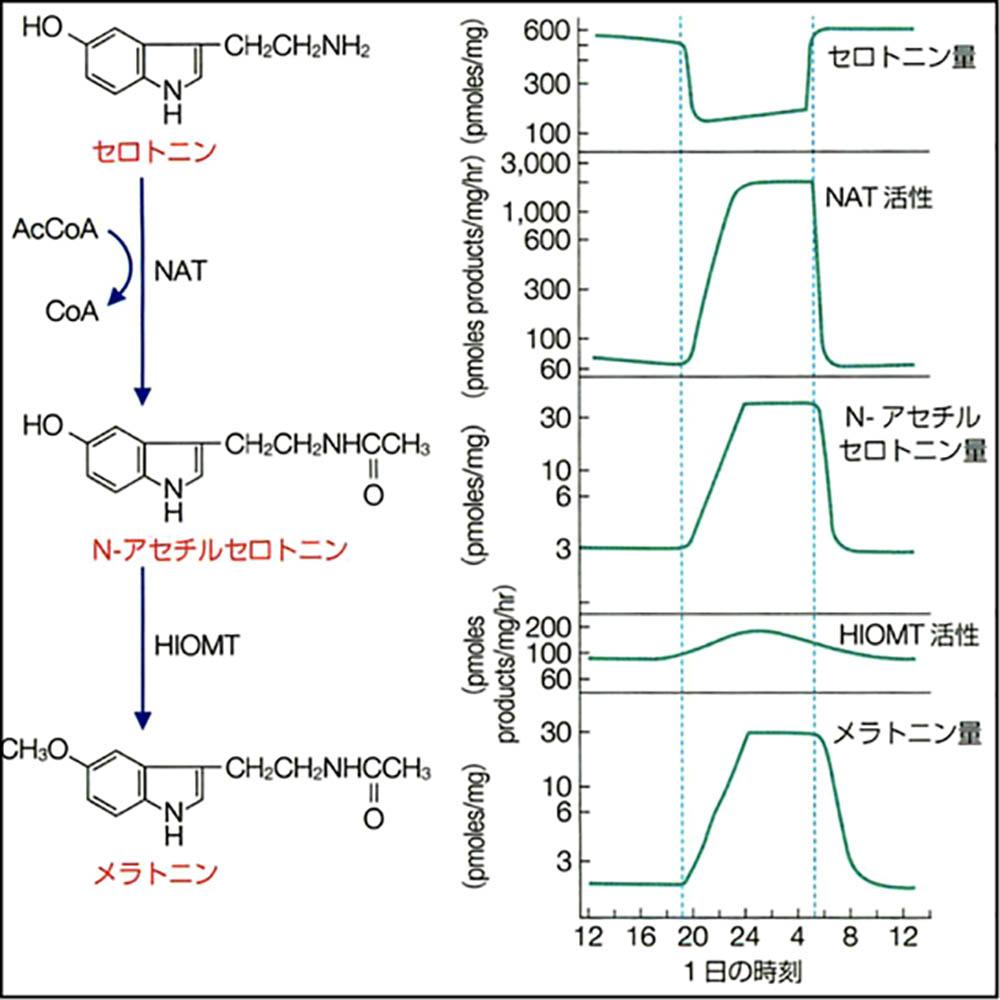 https://tsumugu-shiatsu.com/wp-content/uploads/2019/12/serotonin_melatonin.jpg