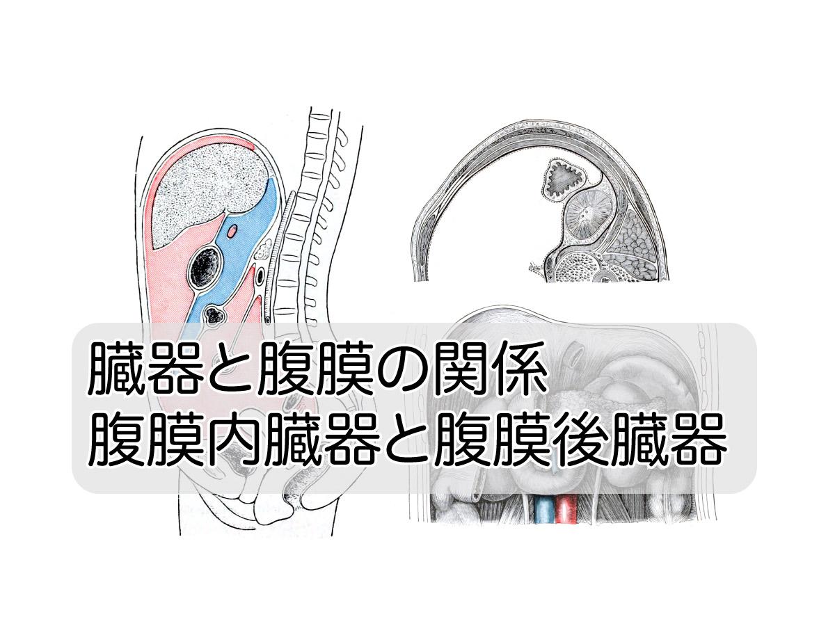 腹膜と臓器の関係 – 腹膜内臓器と腹膜後臓器 | 相模大野 | つむぐ指圧 ...